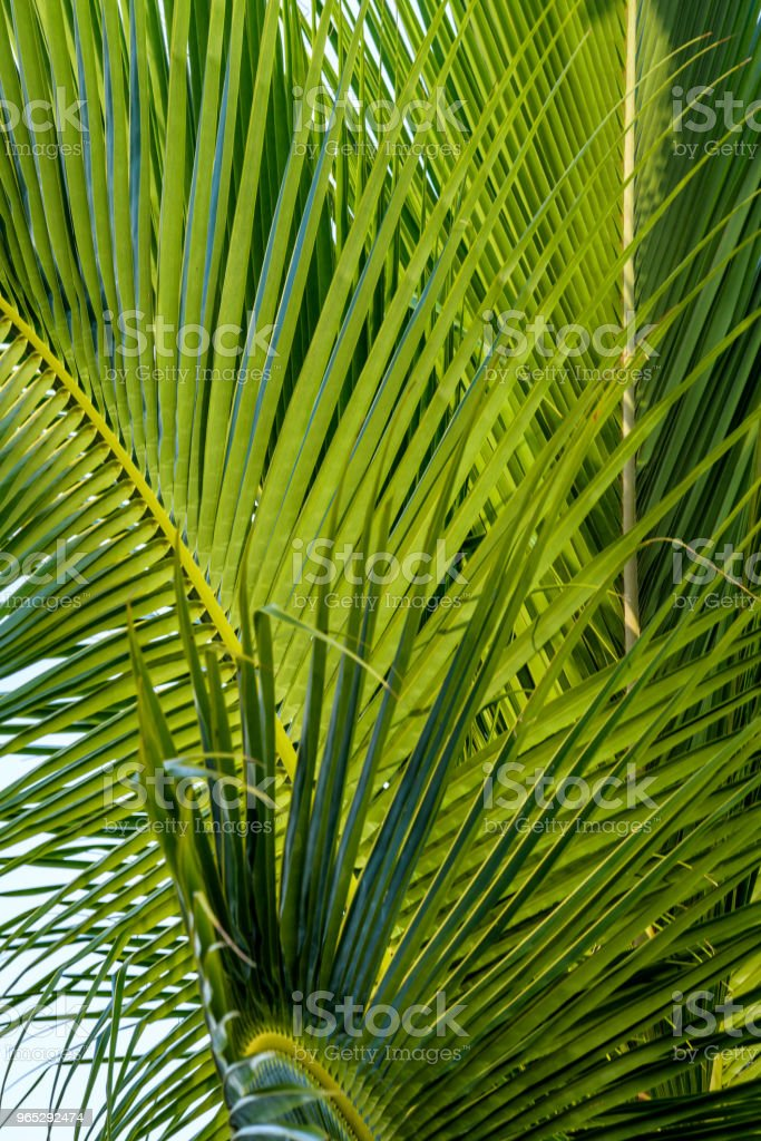 Palm frond detail royalty-free stock photo