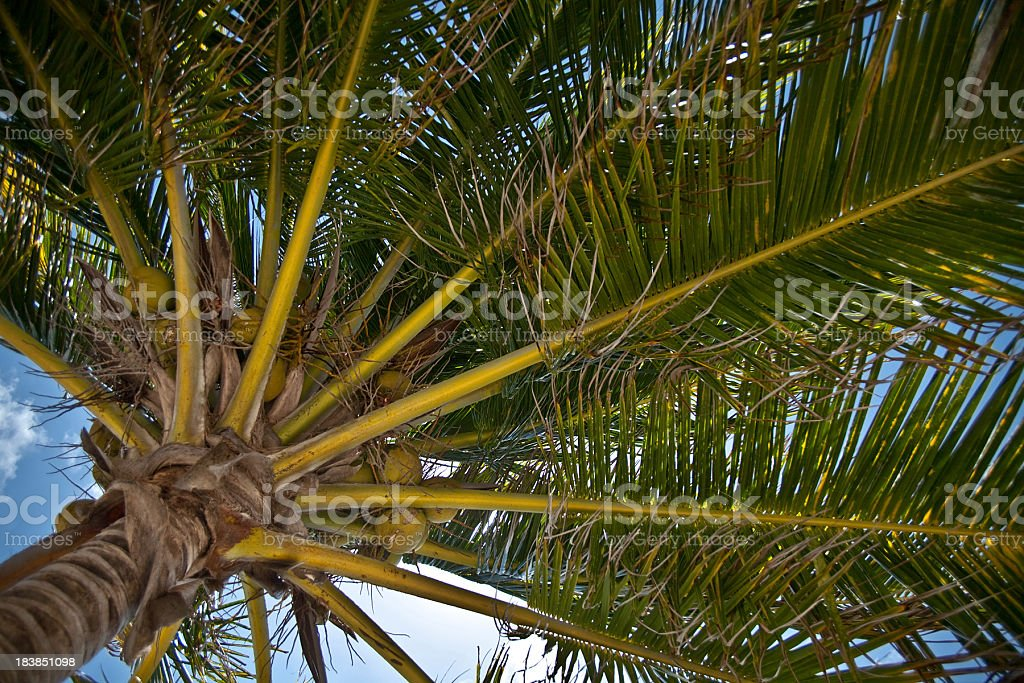 Palm fronds and coconuts. royalty-free stock photo