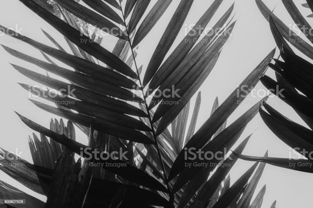 Palm Fronds in Black and White stock photo