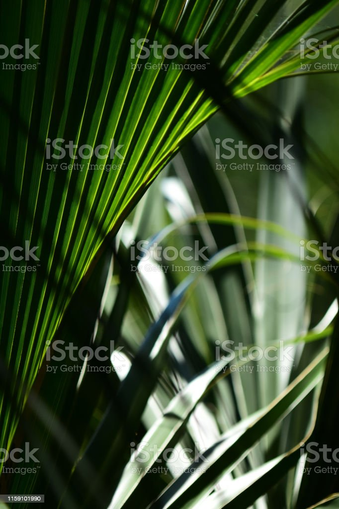 Cabbage Palm frond with shadows, back light and intersecting leaves....