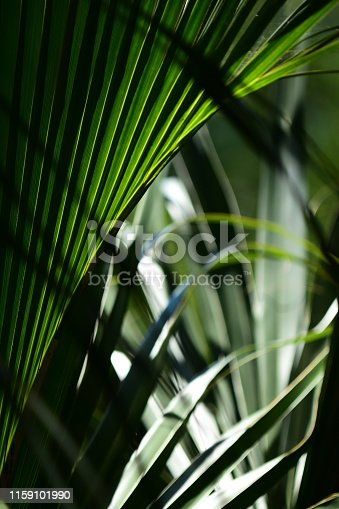Cabbage Palm frond with shadows, back light and intersecting leaves. Photo taken at Silver Springs state park in Ocala, Florida. Nikon D7200 with Nikon 200mm macro lens.