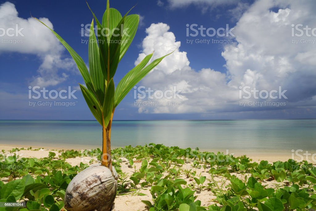 Palm fruit and sea foto stock royalty-free