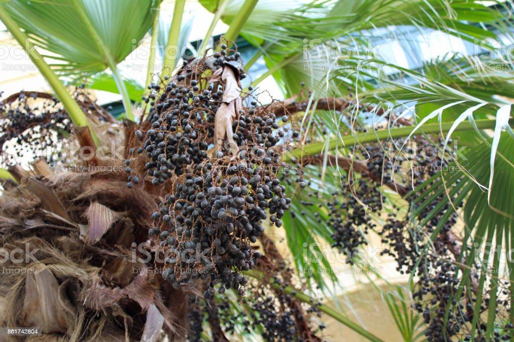 Palm fruit harvest, close up look malta stock photo