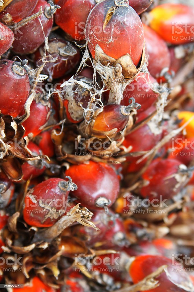 Palm fruit in bunch stock photo