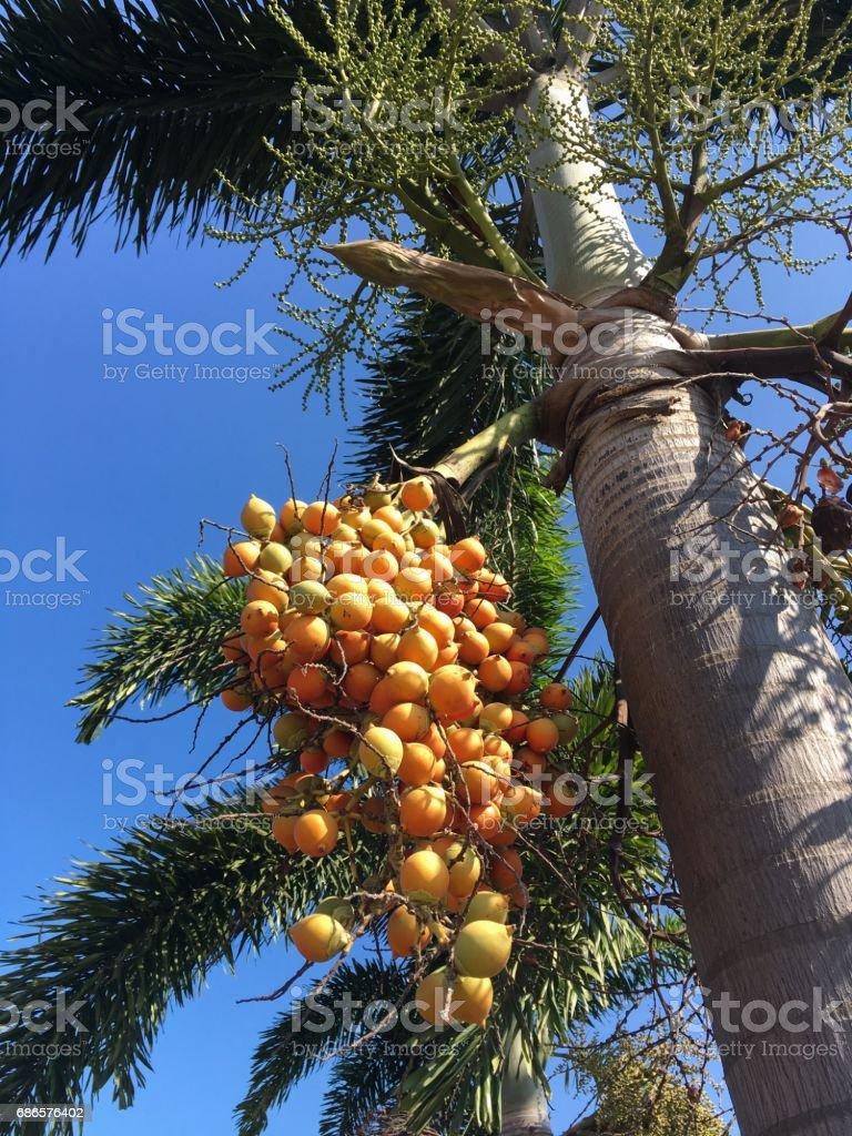 palm fruit foto de stock libre de derechos