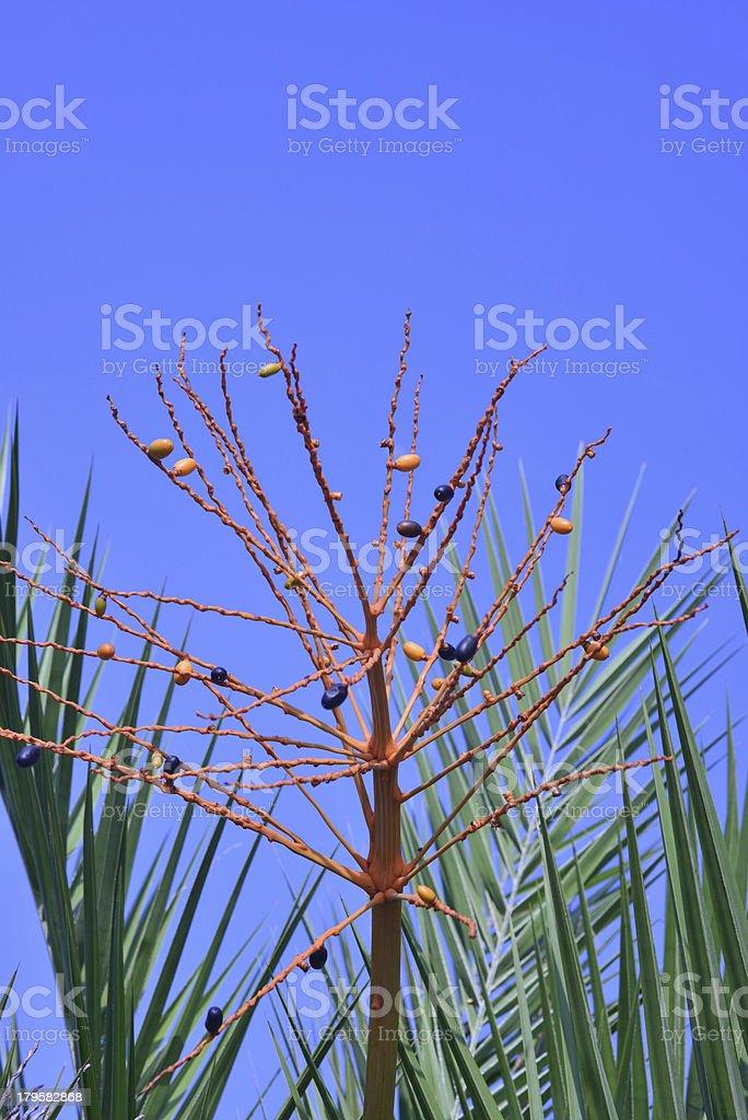 palm fruits royalty-free stock photo