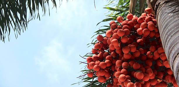 palm fruits. - oleo palma imagens e fotografias de stock