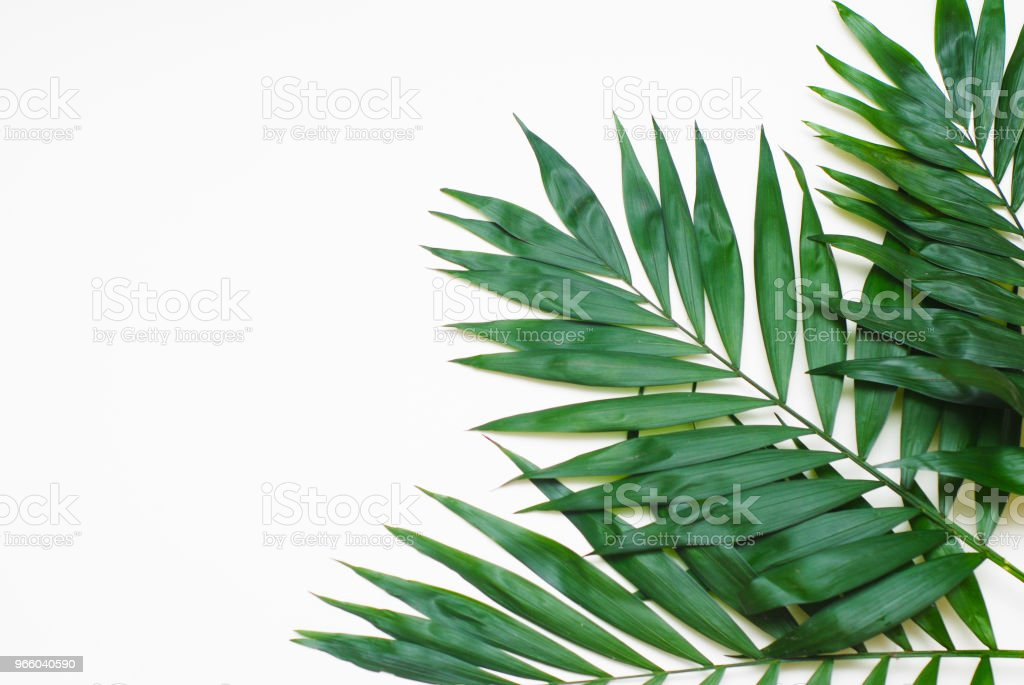 Palm Green Leaves Tropical Exotic Tree Isoalted on White Background. Holliday Patern Template - Royalty-free Art Stock Photo