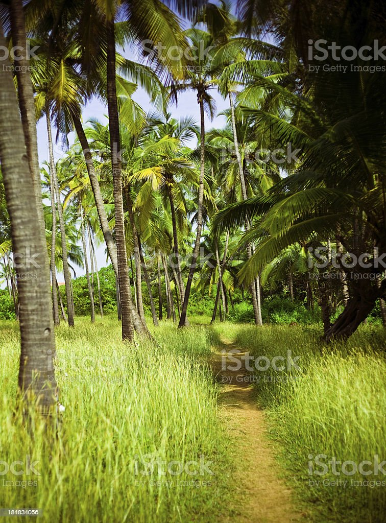 Palm grove in Goa Idyllic path in coconut palm grove, Old Goa in India. Asia Stock Photo