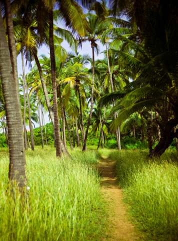 Palm Grove In Goa Stock Photo - Download Image Now