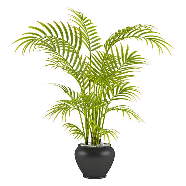palm in the pot stock photo