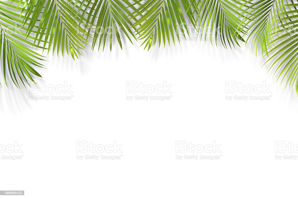 Palm leaf background isolated on white stock photo