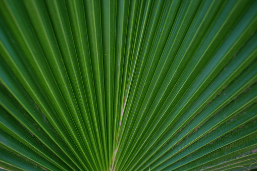 palm leaf close-up, nature background
