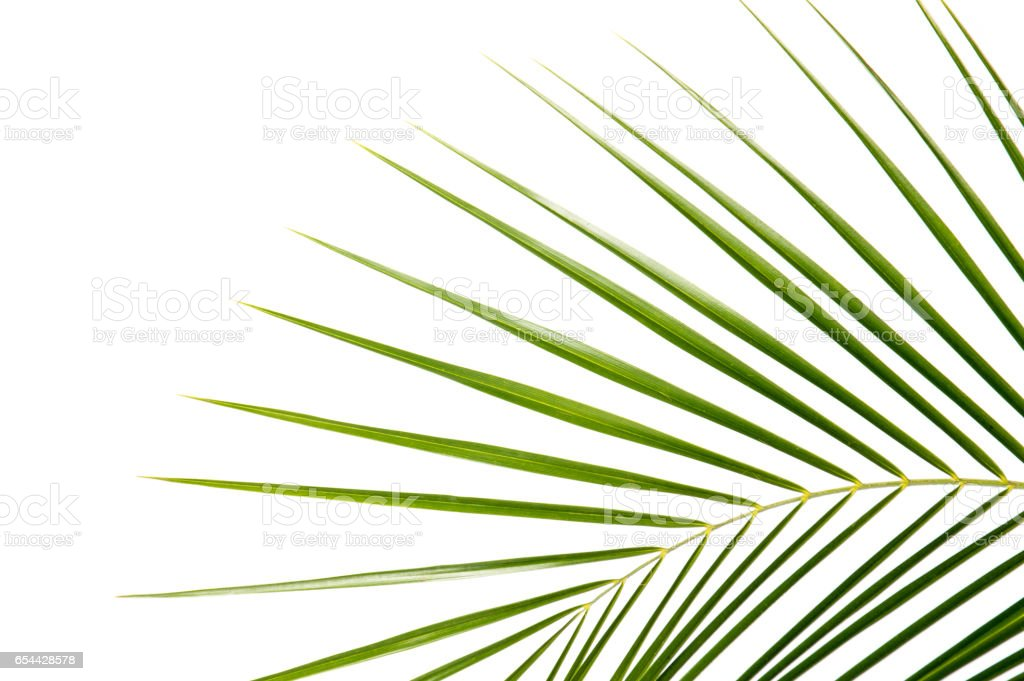 Palm leaf isolated on white stock photo