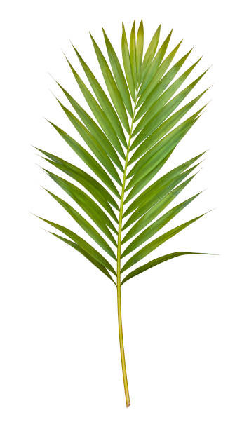 Palm leaf isolated on white with clipping path stock photo