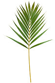 Palm leaf isolated on white with clipping path