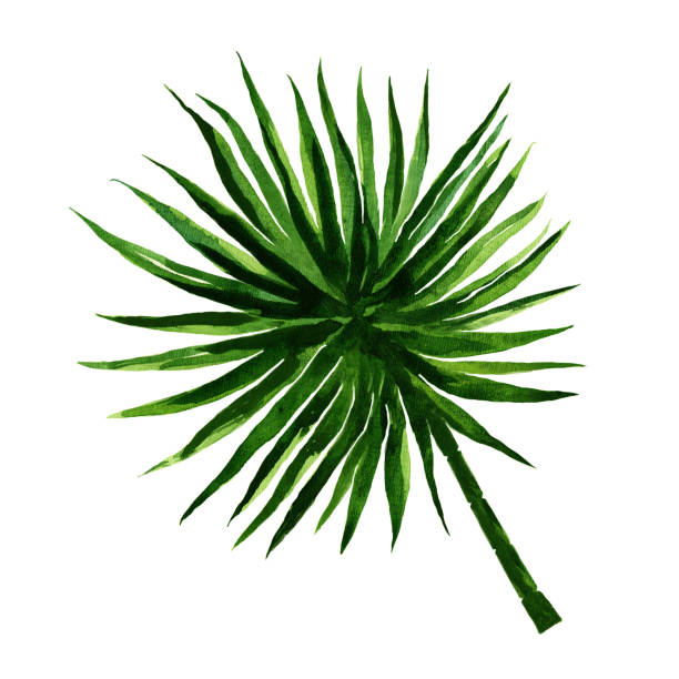 Palm leaf on White Background,  Sketch,  Watercolor  Illustration, Hand drawn stock photo