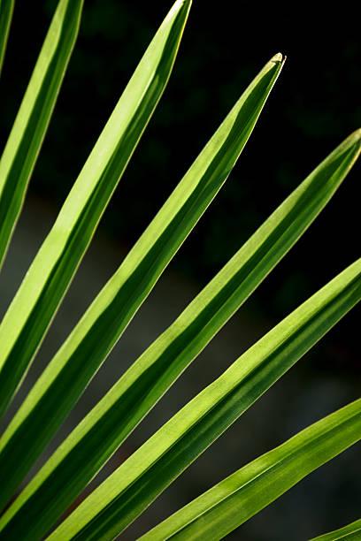 palm leaf - adomer stok fotoğraflar ve resimler
