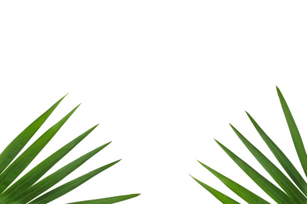 Palm leaves background. stock photo