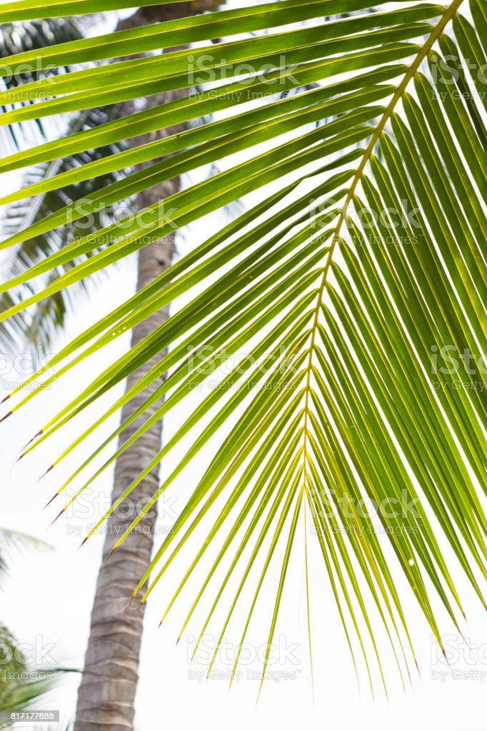 palm leaves isolated on white background stock photo