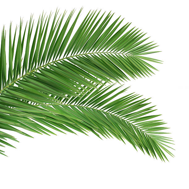 Palm leaves on white background stock photo