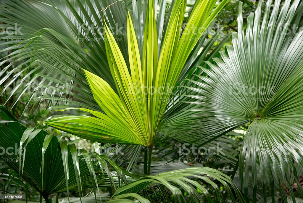 Palm Leaves royalty-free stock photo