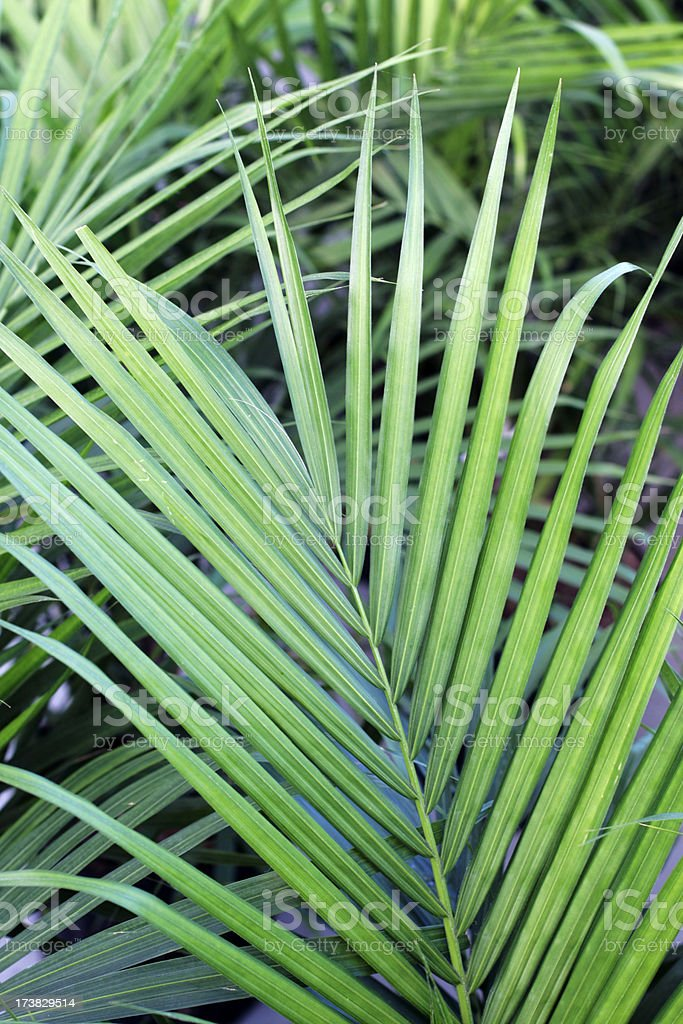 Palm leaves. royalty-free stock photo