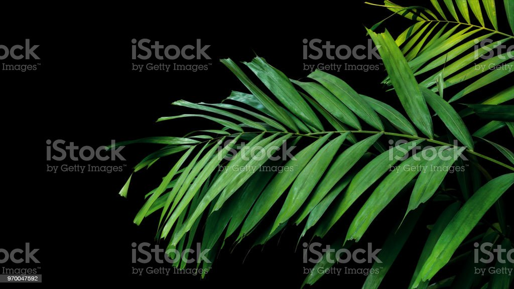Palm leaves, tropical foliage plant growing in wild on black background, clipping path included. stock photo