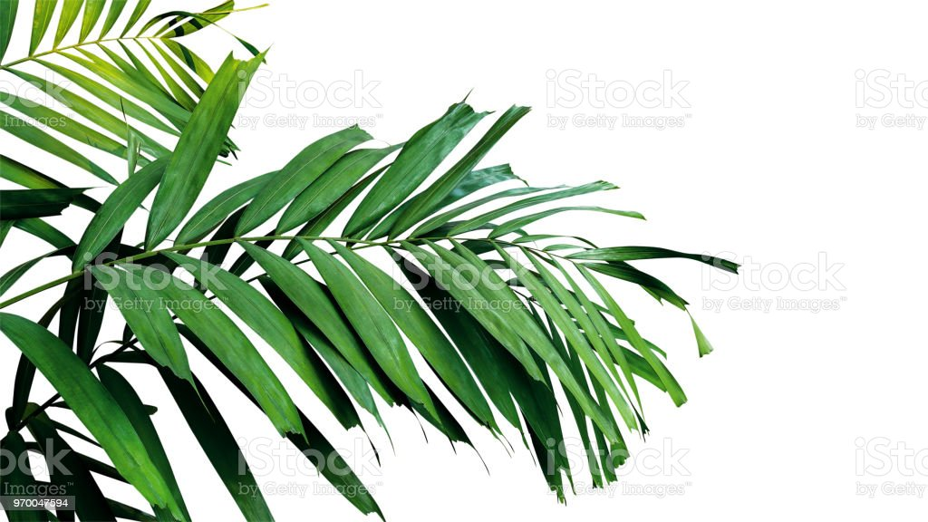 Palm leaves, tropical rainforest foliage plant isolated on white background, clipping path included. stock photo