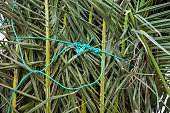 Palm leaves restricted with a rope