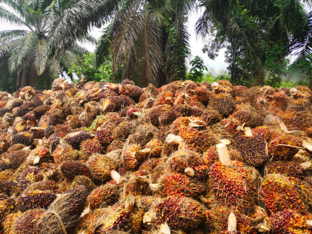 Palm Oil Fruit harvest stock photo
