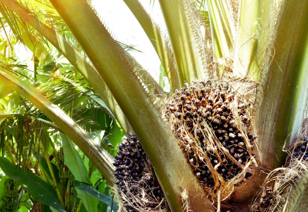 palm oil fruit on the tree close up. - oleo palma imagens e fotografias de stock