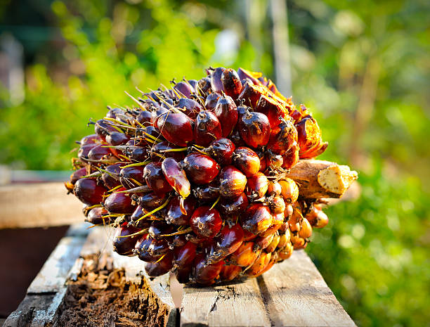 Palm Oil Palm oil, a well-balanced healthy edible oil is now an important energy source for mankind. It comes from the fruit itself. It is widely acknowledged as a versatile and nutritious vegetable oil.  palm oil stock pictures, royalty-free photos & images