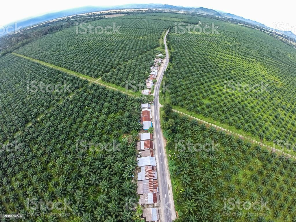 Palm Oil Plantation of Sulawesi Indonesia stock photo