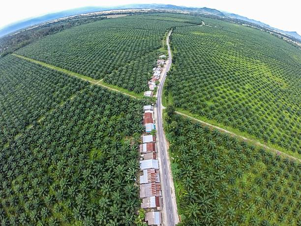 Palm Oil Plantation of Sulawesi Indonesia Even though palm oil industry considered not environmentally friendly; this industry proven to be one of the key reason for the strength of Indonesia economy. And after all, the view doesn't bad at all. palm oil stock pictures, royalty-free photos & images