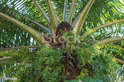 Palm Oil Plantation, close up of the fruits, Islands of Borneo
