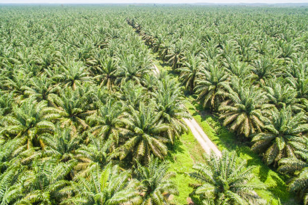 palm oil plantation aerial view of palm oil plantation palm oil stock pictures, royalty-free photos & images