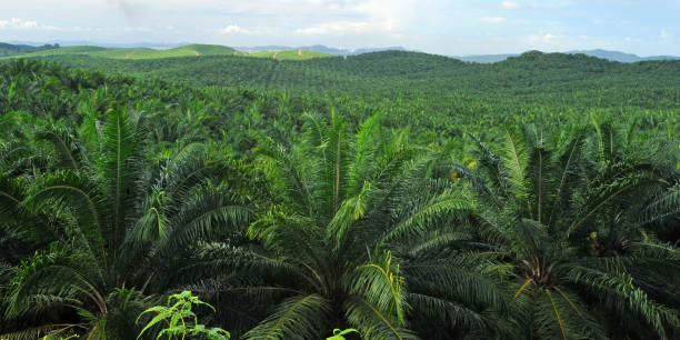Palm Oil Plantation Palm oil production is vital for the economy of Malaysia, which is the world's second- largest producer of the commodity after Indonesia. palm oil stock pictures, royalty-free photos & images