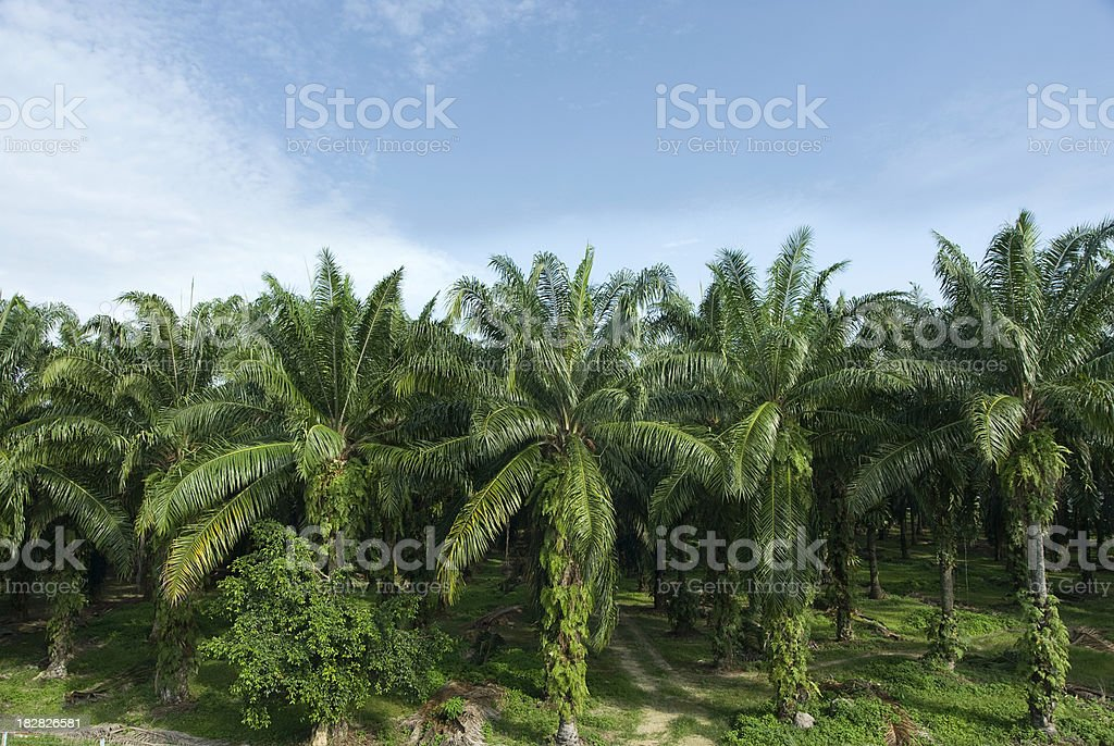 Palm Oil Plantation stock photo