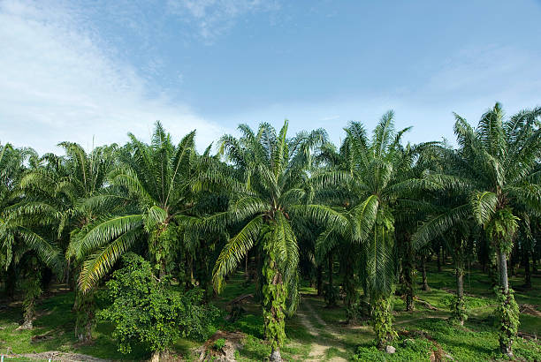 Palm Oil Plantation Palm Oil Plantation with blue sky & cloud background palm oil stock pictures, royalty-free photos & images