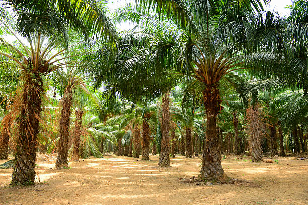 Palm Oil Plantation Palm Oil Plantation palm oil stock pictures, royalty-free photos & images