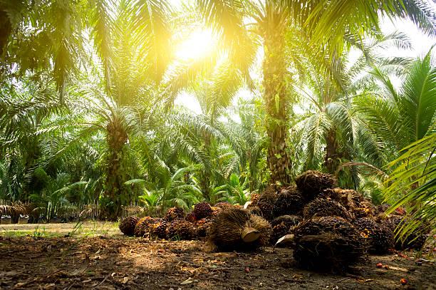 óleo de palma plantation - oleo palma imagens e fotografias de stock