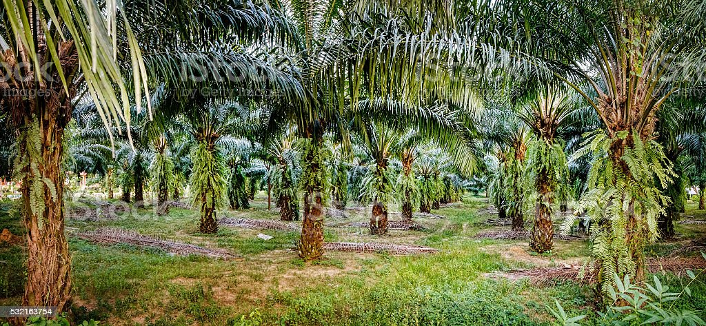 Palm oil plantations, Khao Sok National Park, Thailand. stock photo