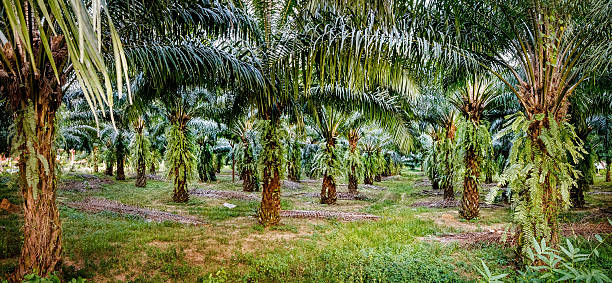 Palm oil plantations, Khao Sok National Park, Thailand. Views of palm oil plantations, Khao Sok National Park, Surat Thani Province, Thailand. palm oil stock pictures, royalty-free photos & images