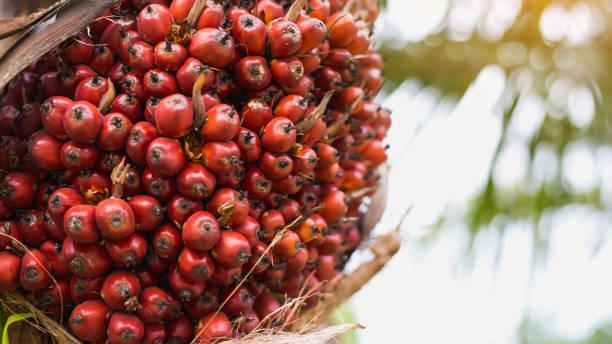 Palm oil tree stock photo