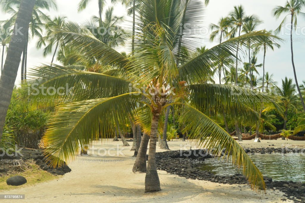 Palma en Hawaii, USA, EEUU. - foto de stock