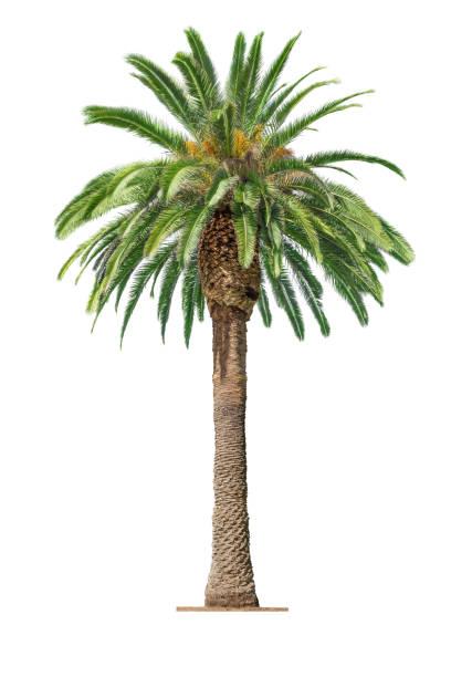 Palm on white background picture id667447390?b=1&k=6&m=667447390&s=612x612&w=0&h=0jw1npc4 kk5yofmlnpvo6fusjx69gjcoywghnxpjis=