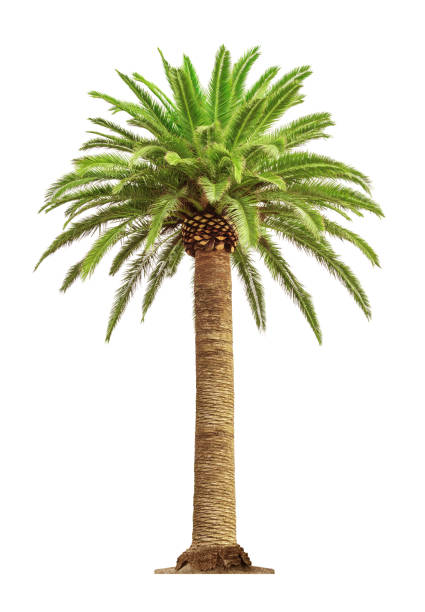 Palm on white background picture id918410138?b=1&k=6&m=918410138&s=612x612&w=0&h=omosbcrgntqjhq7ch27gd3ldpc7yth5jma5tgeo d18=