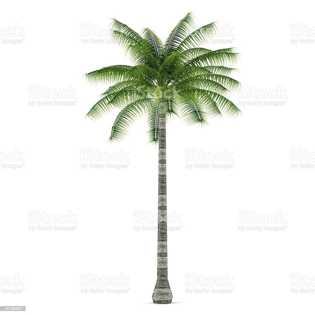 Foto de palmeiras plantas rvore isolada cocos nucifera e - Pitture da interno ...
