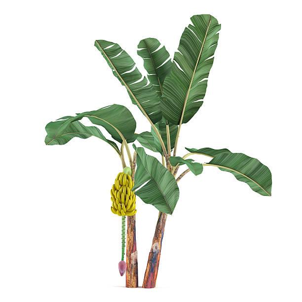 Palm-Baum, isoliert.  Musa White Pine banana – Foto